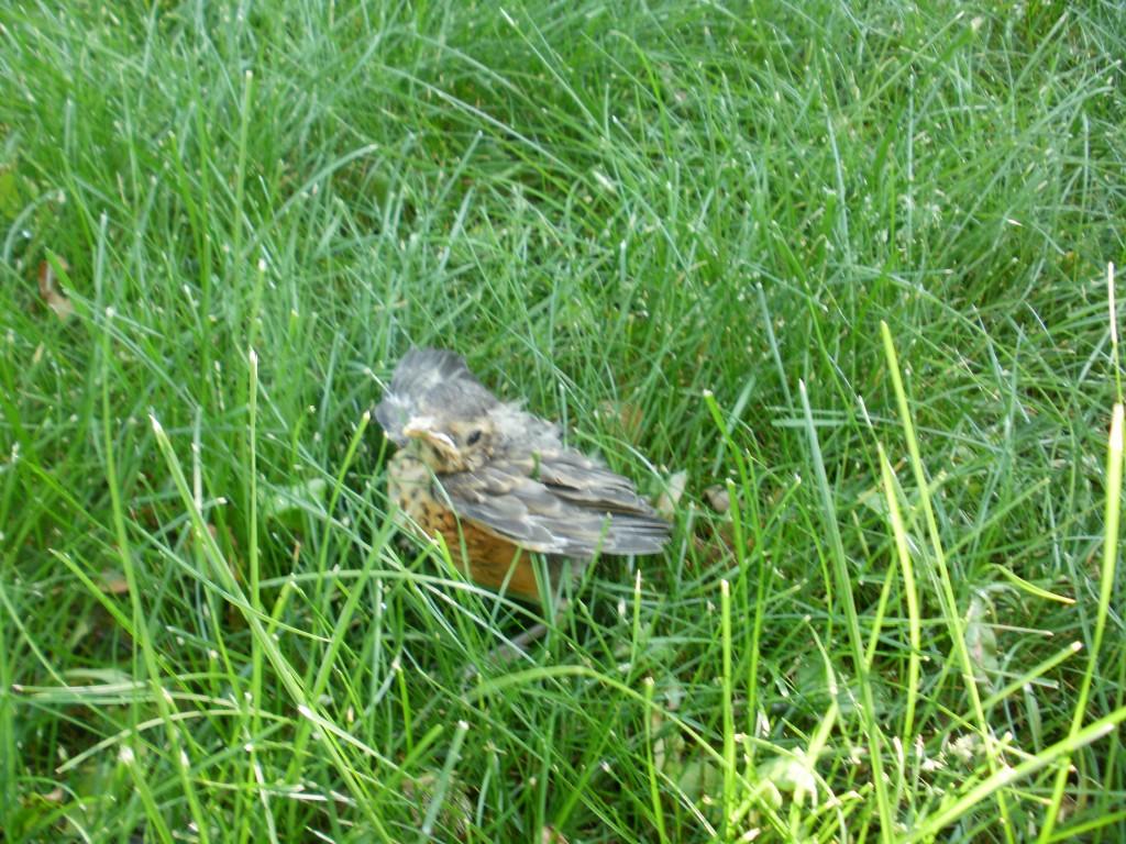 the last baby robin