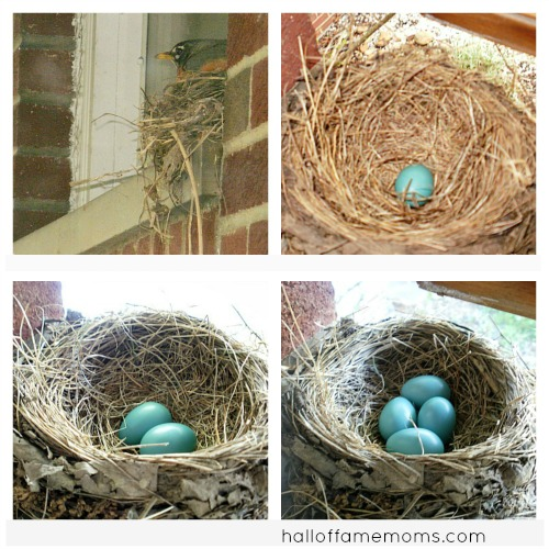robin's nest and eggs
