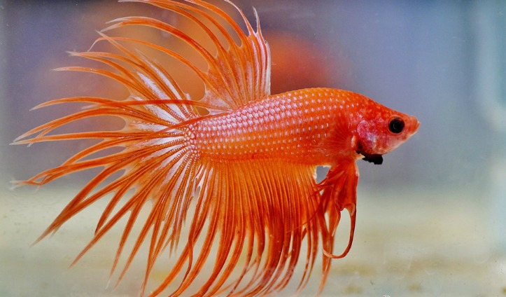 Why Betta Fish make good Pets for Kids