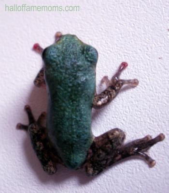 Raising tadpoles into frogs.