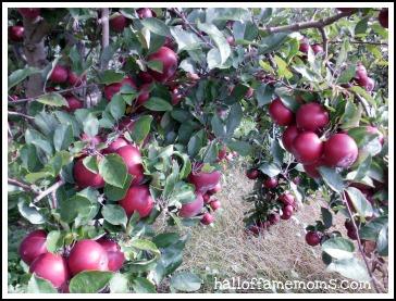 Apples at Arrowhead Orchard near East Canton