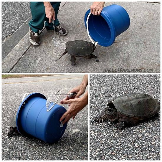 Helping a mad Myrtle Beach turtle cross the road.