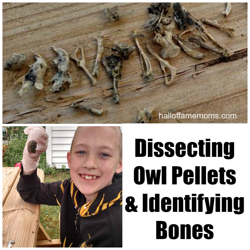 Homeschool Science by Dissecting Owl Pellets for Bones